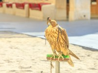 Катар. Доха. Соколиный рынок. Hooded falcon at Falcon Souq near Souq Waqif in Doha. The hawk hunt in Qatar is a tradition sport. Фото bennymarty-Deposit