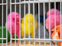 Катар. Доха. Young chicks painted in pink, yellow and orange colors in a birdcage in the souq, the old market of Doha in Qatar. Фото pljvv1 - Depositphotos