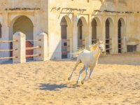 Катар. Доха. Рынок Сук-Вакиф. Purebred white Arabian horse running in a paddock in central Doha, The stables are part of Souq Waqif area. Фото bennymarty-Deposit