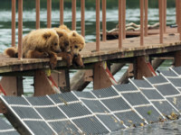 Россия. Камчатка. Three little brown bear cub on fence to account for fish. Kurile Lake in Southern Kamchatka Wildlife Refuge. Фото yykkaa -Depositphotos