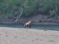 Россия. Плато Путорана. A young moose on the river Bank. Calf posing on the background of the river and steep banks. Фото sergunt - Depositphotos