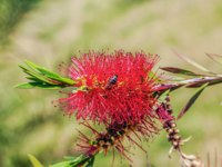 Россия. Сочи. Парк Дендрарий. The bee on the flower Callistemon. Arboretum, Sochi, Russia. Фото Sivenkov - Depositphotos