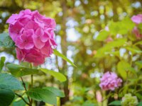 Россия. Сочи. Парк Дендрарий. Pink flower of hydrangea (hortensia) in the arboretum in Sochi. Фото nesavinov - Depositphotos