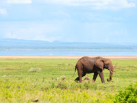 Клуб путешествий Павла Аксенова. Танзания. Elephant in Lake Manyara national park, Tanzania. Фото Shalamov - Depositphotos