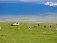 Танзания. Game drive. Safari car on game drive with animals around, Ngorongoro crater in Tanzania. Фото shalamov - Depositphotos