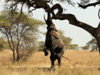 Танзания. African Elephant (Loxodonta Africana) Reaching out for Food in a Tree, Serengeti, Tanzania. Фото Andaman - Depositphotos