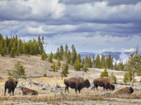 США. Йеллоустонский национальный парк. Herd of American bison (Bison bison) grazing in Yellowstone National Park. Фото MaciejBledowski - Depositphotos