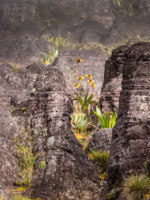A very rare endemic plants on the plateau of Roraima - VenezuelaФото Curioso_Travel_Photography - Depositphotos